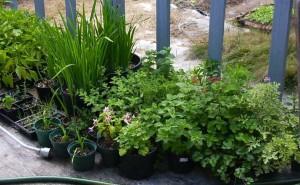 Fiddlers Farm plants growing in pots